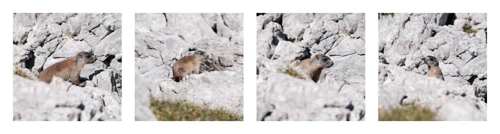 DSCF 8770-Marmotte-1